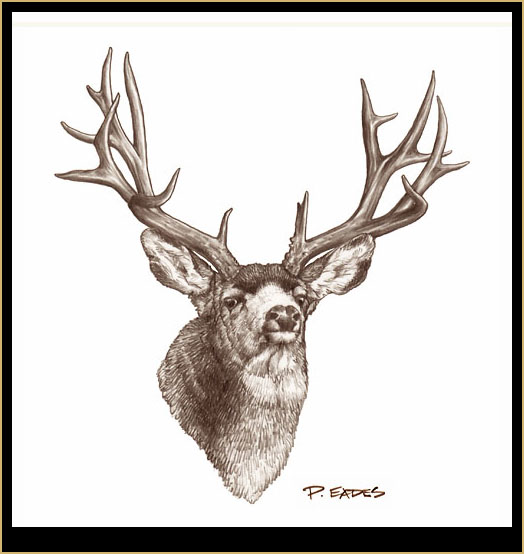 Pencil drawing - Mule Deer Buck 2Drawings Of Deer Bucks