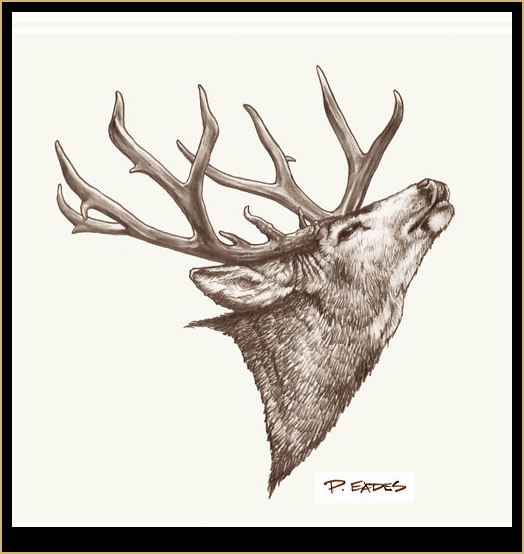 Pencil Drawing Mule Deer Buck 3 pictureDrawings Of Deer Bucks